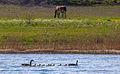 Canada geese IMG 9179.jpg
