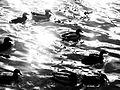 Canards flottant sur l'eau, à Asnières.JPG