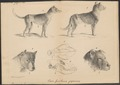 Canis lupus familiaris - met schedel - 1700-1880 - Print - Iconographia Zoologica - Special Collections University of Amsterdam - UBA01 IZ22300479.tif