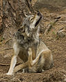 Canis lupus scratching.jpg