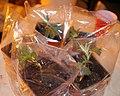 Cannabis seedling in humidor.jpg