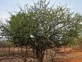 Canthium coromandelicum near Hyderabad W IMG 7609.jpg