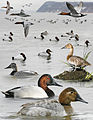 Canvasback From The Crossley ID Guide Eastern Birds.jpg
