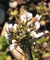 Capsella bursa-pastoris ENBLA02.jpg