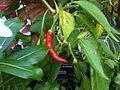 Capsicum annuum 11 - Kew.jpg