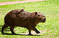 Capybara with its Cattle Tyrant, Esteros Del Ibera, Corrientes, Argentina, 2nd. Jan. 2011 - Flickr - PhillipC.jpg