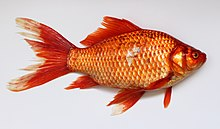 An orange coloured fish, facing right