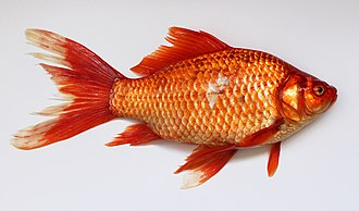 Prussian carp - An orange colored wild-caught Prussian carp with goldfish-like coloration.