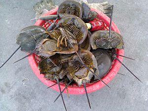 Mangrove horseshoe crab - Carcinoscorpius rotundicauda in Chonburi, Thailand