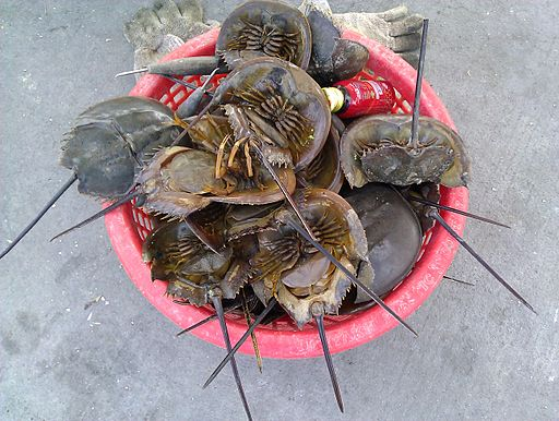 Carcinoscorpius rotundicauda (Chonburi)