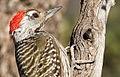 Cardinal Woodpecker - MALE, Dendropicos fuscescens at Pilanesberg National Park, Northwest Province, South Africa (14905385968).jpg