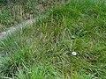 Carex arenaria - Botanical Garden, University of Frankfurt - DSC02612.JPG