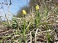 Carex caryophyllea sl3.jpg