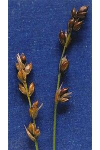 Carex disperma NRCS-1.jpg