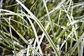 Carex morrowii Silver Sceptre 2zz.jpg