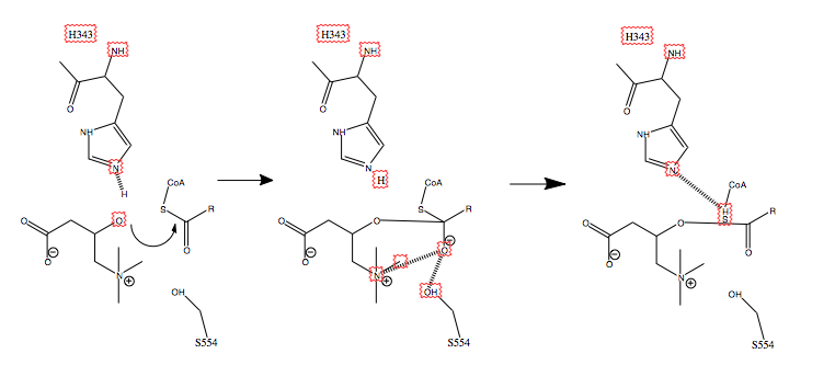 File:Carnitine Acetyltransferase Mechanism.tiff