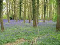 Carpet of Bluebells - geograph.org.uk - 1556349.jpg