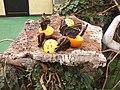 Casa delle farfalle - Morpho peleides 03.jpg
