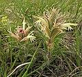 Castilleja sessiliflora Colorado.jpg