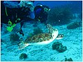 Catching a photo of a turtle (498983855).jpg