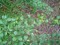 Catesbaeamelanocarpa