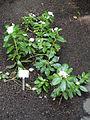 Catharanthus roseus - Palmengarten Frankfurt - DSC01825.JPG
