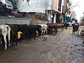 Cattle in village near Delhi being fed and milked on the street.jpg