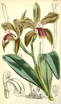 Cattleya bicolor - Curtis 82-4909 (1856)