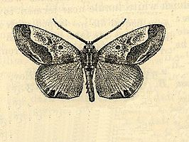Caularis jamaicensis.JPG