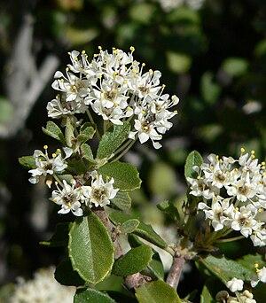 Ceanothus greggii - Image: Ceanothus greggii 4