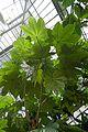 Cecropia-Jardin des plantes de Nantes (3).jpg
