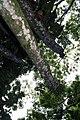 Cecropia obtusifolia 27zz.jpg