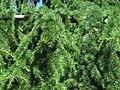 Cedrus libani branch.jpg