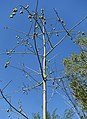 Ceiba pentandra - Naples Botanical Garden - Naples, Florida - DSC09894.jpg