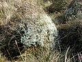 Cen. Lichen. - geograph.org.uk - 407413.jpg