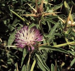 Centaurea iberica 10