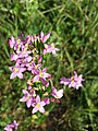Centaurium erythraea (subsp. erythraea) sl11.jpg