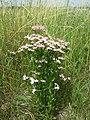 Centaurium erythraea (subsp. erythraea) sl21.jpg