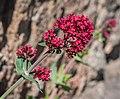 Centranthus ruber in Aveyron (4).jpg