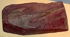 Fossil von Cephalaspis im Aquazoo – Löbbecke Museum in Düsseldorf