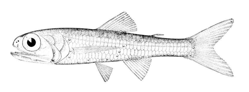 Ceratoscopelus maderensis