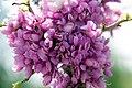 Cercis chinensis Avondale 13zz.jpg