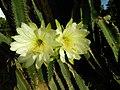 Cereus cactus Aliyar ph 03.jpg