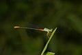 Ceriagrion cerinorubellum male in Kadavoor.jpg