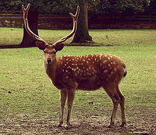 A stag deer of species Cervus nippon. (2)