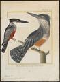 Ceryle maxima - 1700-1880 - Print - Iconographia Zoologica - Special Collections University of Amsterdam - UBA01 IZ16800251.tif