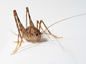 Ensifera - A cave cricket, showing the long hind legs and antennae