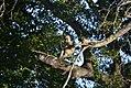 Chacma Baboon - Tree (5341927263).jpg