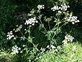 Chaerophyllum bulbosum sl29.jpg