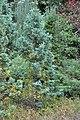 Chamaecyparis pisifera 'Boulevard' Japanese Sawara False Cypress კვიპაროსი პისიფერა 'ბულვარდი'.JPG
